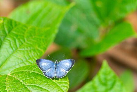 Lesser Grass Blue ( Zizzina otis)spread wings on green leaf