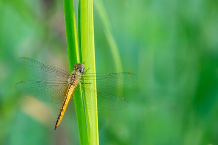 Wandering Glider perched on green grass Stock Photo