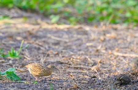 Small Buttonquail  eating seeds on the ground in the meadow