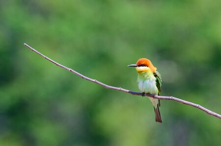 Chestnut-headed Bee-eater perched on dry branches
