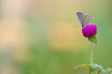 Singleton  butterfly is eating nectar from the pollen of Amaranth flower in the meadow Фото со стока