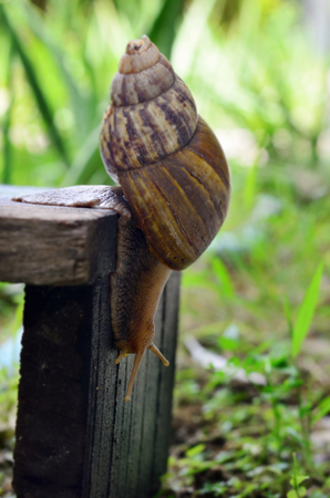animal  beautiful: A cute snail walks actually slides on a wooden plate in the garden Macro, small animal, beautiful