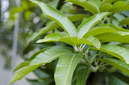 feuille arbre: Mangue laisse sur l'arbre