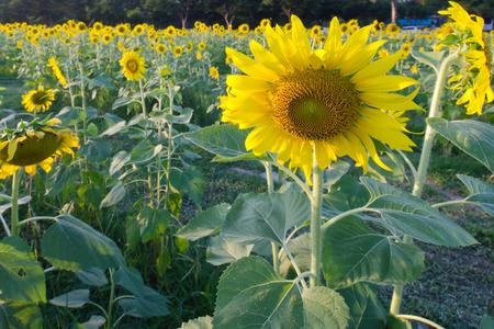 flower shape: Garden of sunflowers in national park Buddha Monthon park Thailand Stock Photo