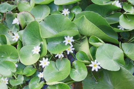 flower leaf: White lotus flower in Chiangmai national flower park, Thailand