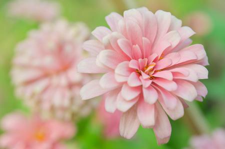 compositae: Pink Aster flower (Science name Callistephus chinensis, family name Compositae) in Rama 9 (local name) national garden, Bangkok Thailand Stock Photo