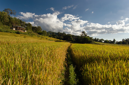 bong: Baan Pa Bong Pieng (View of rice farm and cloudy blue sky by local people in mountain, northern part of Thailand)