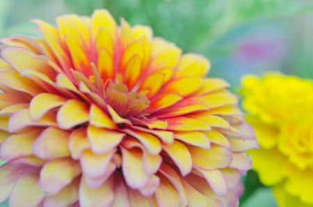 compositae: Pink and yellow hybrid Aster flower (Science name Callistephus chinensis, family name Compositae) in Rama 9 (local name) national garden, Bangkok Thailand