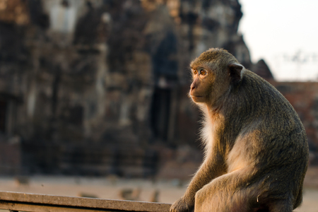 macaque: Long-tailed macaque monkey Crab-eating macaque in Lopburi province Thailand