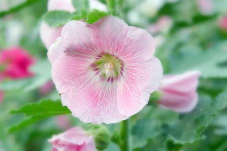 malvaceae: Hibiscus flower (paper flower) family name Malvaceae Stock Photo