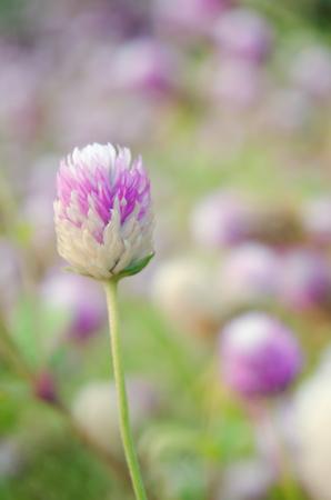 amaranthus: Globe Amaranth Flower (Other names are Amaranthus, Tampala, Tassel Flower, Flaming Fountain, Fountain Plant, Josephs Coat, Love-lies-bleeding, Molten Flower, Princes Feather and Summer Poinsettia) Stock Photo