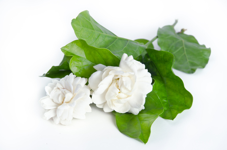 jessamine: Jasmine (Other names are Jasminum, Jasmine Melati, Jessamine, Jasmine Oleaceae) flowers isolated on white background