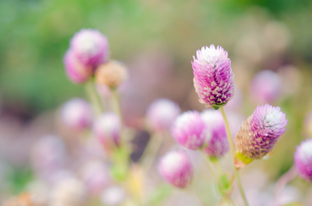 amaranthus: Globe Amaranth Flower in the field (Other names are Amaranthus, Tampala, Tassel Flower, Flaming Fountain, Fountain Plant, Josephs Coat, Love-lies-bleeding, Amaranth, Molten Flower, Princes Feather and Summer Poinsettia) Stock Photo