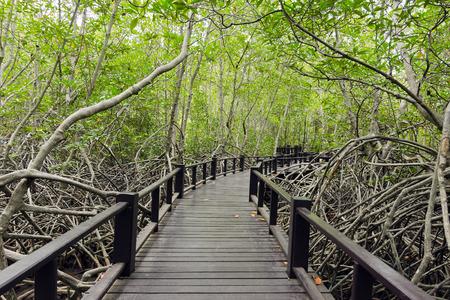 Wood passage way into mangrove forest (Trees include Rhizophoraceae, Ceriops, tagal, decandra, apiculata, meliaceae, xylocarpus, moluccensis, Rhizophora, apiculate, Ceriops, Combretaceae, lumnitzera)