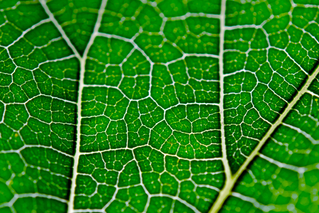 Leaf texture abstract background with closeup view on leaf veins