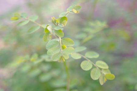 hum: Moringa (Other names are Moringa oleifera Lam., MORINGACEAE, Futaba kom hammer, vegetable hum, Moringa hum bug, Moringa bug Hoo) leaf, tropical plant