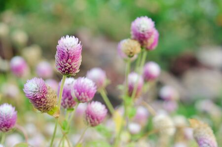 Globe Amaranth Flower (Other names are Amaranthus, Tampala, Tassel Flower, Flaming Fountain, Fountain Plant, Josephs Coat, Love-lies-bleeding, Amaranth, Molten Flower, Princes Feather and Summer Poinsettia)