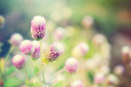 amaranthus: Globe Amaranth Flower (Also known as Amaranthus, Tampala, Tassel Flower, Flaming Fountain, Fountain Plant, Josephs Coat, Amaranth, Molten Flower, Summer Poinsettia) filtered with morning light