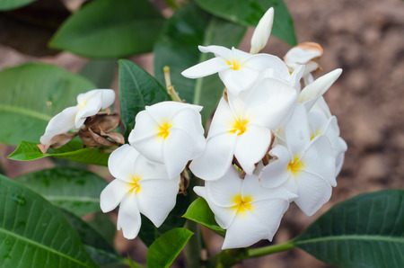 apocynaceae: Plumeria flowers on tree (Also known as frangipani, Apocynaceae, Nerium oleander, white plumeria, Leelavadee, Lunthom)