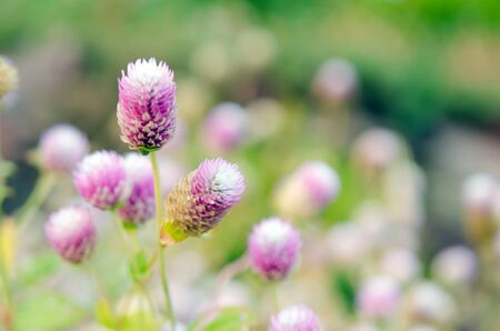 amaranthus: Globe Amaranth Flower (Also known as Amaranthus, Tampala, Tassel Flower, Flaming Fountain, Fountain Plant, Josephs Coat, Love-lies-bleeding, Amaranth, Molten Flower, Princes Feather and Summer Poinsettia)