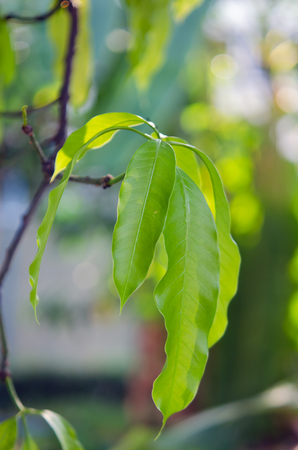 mango leaf: Mango leaf with bokeh background on the tree (Other names are horse mango, Mangifera, foetida, Anacardiaceae, Mangifera, M. indica) Stock Photo