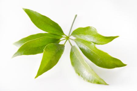 Araliaceae leaf isolated on white (Also called as Schefflera leucantha R.Vig., Schefflera kwangsiensis Merr. ex H.L.Li, Schefflera tamdaoensis Grushv. & Skvortsova, Schefflera tenuis H.L.Li)