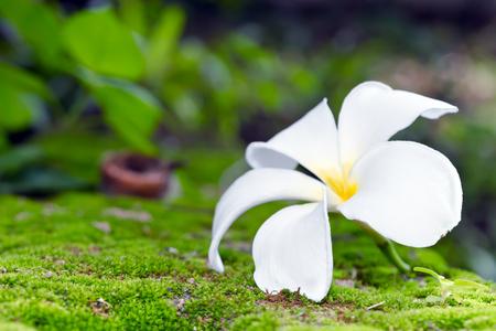 White Plumeria flower on moss and bokeh background (Other names are frangipani, Apocynaceae, Nerium oleander, white plumeria, Leelavadee, Lunthom)