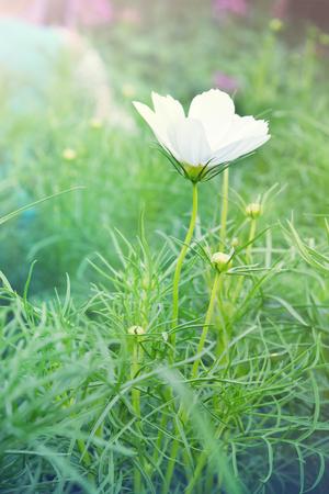 White cosmos flower also called as spanish needle flower cosmos white cosmos flower also called as spanish needle flower cosmos sulphureus cav bidens mightylinksfo