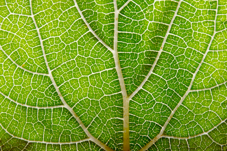 Leaf abstract background texture with veins Stock Photo