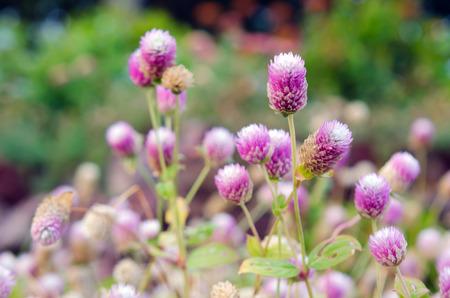 amaranthus: Globe Amaranth Flower (Other names are Amaranthus, Tampala, Tassel Flower, Flaming Fountain, Fountain Plant, Josephs Coat, Love-lies-bleeding, Amaranth, Molten Flower and Summer Poinsettia)