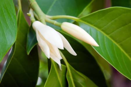 odorous: Champaka flower (Also called as Michelia alba champak, Michelia champaca, Magnoliceae hybrid champaka, champak, Magnolia champaka) on the tree with fragrance smell, timber is used for wood working