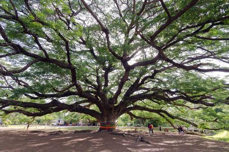 fabaceae: Giant mimosa rain tree (Also called as Jamjuri, Kampoo, Chumcha, Samanea Saman, Albizia saman, Fabaceae, Neotropics, rain tree, monkeypod, Samanea Mimosa) in Kanchanaburi province, Thailand