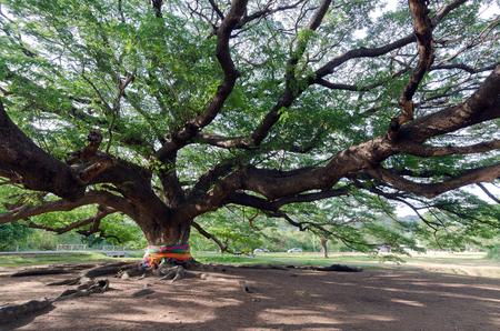 samanea saman: Giant mimosa rain tree (Also called as Jamjuri, Kampoo, Chumcha, Samanea Saman, Albizia saman, Fabaceae, Neotropics, rain tree, monkeypod, Samanea Mimosa) in Kanchanaburi province, Thailand