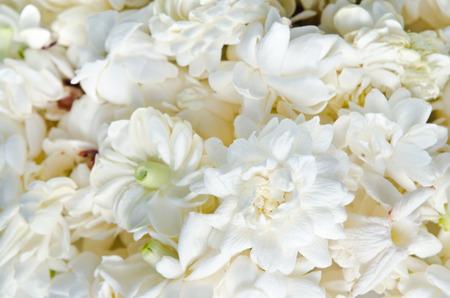 spreaded: Jasmine (Other names are Jasminum, Jasmine Melati, Jessamine, Jasmine Oleaceae) flowers spreaded on white background