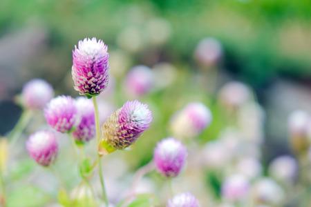 hemorragias: Flor del amaranto de globo (Otros nombres son Amaranthus, Tampala, la borla de la flor, Flaming fuente, fuente de la planta, capa de José, Love-lies-bleeding, amaranto, Fundido de flores, plumas de Prince y Poinsettia de verano)