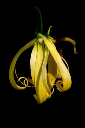 annonaceae: Kananga or Ylang ylang franrance flower (Also called as Cananga odorata, Cananga Hook, kenanga, sandat, seulanga, ilang-ilang, allangigan, Mataoi, Mohokoi, Mosooi, Fruticosum, Annonaceae Kananga)