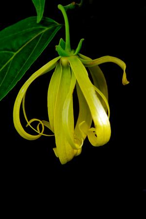 odorous: Kananga or Ylang ylang franrance flower (Also called as Cananga odorata, Cananga Hook, kenanga, sandat, seulanga, ilang-ilang, allangigan, Mataoi, Mohokoi, Mosooi, Fruticosum, Annonaceae Kananga)