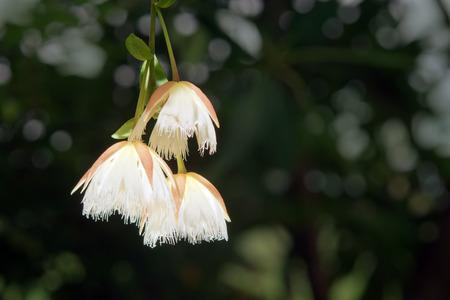 eudicots: Elaeocarpus hainanensis or Elaeocarpus grandifloras flower (Also called as Elaeocarpaceae, Oxalidales, Rosids Hainanensis, Eudicots Grandifloras, Elaeocarpus nanus in Malaysia)