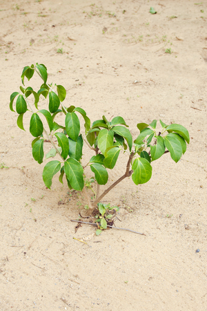 liana: Garlic Vine plant tree on sand soil (Also named as Mansoa alliacea, liana, ajo sacha, forest garlic, wild garlic, Pachyptera hymennaea (DC.) A. Gentry., Bignoniaceae, Garlic vine) Stock Photo