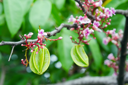 Star apple fruit and flower on the tree (Also called as Carambola, starfruit, Averrhoa apple carambola, Arkin in Florida, Dah Pon, Ma fueng, Golden Star, Newcomb, Star King, Golden star)
