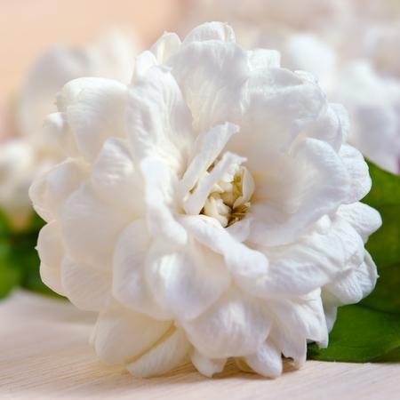 jessamine: Jasmine (Other names are Jasminum, Melati, Jessamine, Oleaceae Jasmine) flower on wooden board background