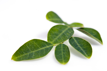 Moringa (Other names are Moringa oleifera Lam., MORINGACEAE, Futaba kom hammer, vegetable hum, Moringa hum bug, bug Hoo) leaf isolated on white background