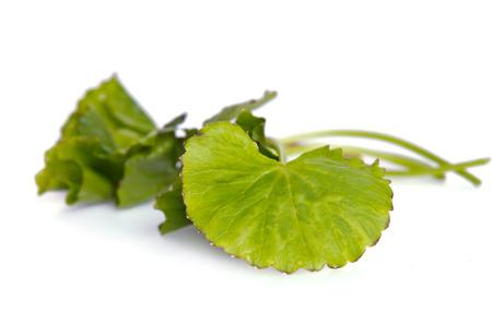 Centella asiatica (Also called as Asiatic Pennywort, Centella asiatica (Linn.) Urban, gotu, kola, ayuvera, Thankuni in Indian, Buabok in Thailand, Simon wort) leaf isolated on white Stock Photo
