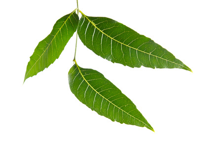 caoba: Margosa (también nombrado como nim, árbol de neem, Melia, Azadirachta indica, caoba, Meliaceae margosa, Sadao, o Melia azedarach) de hojas aisladas sobre fondo blanco