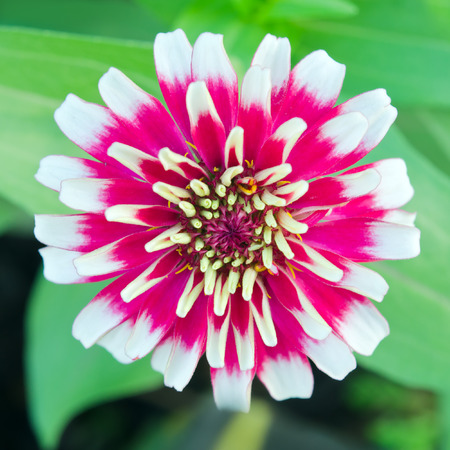 Aster flower White and red hybrid (Also called as Callistephus chinensis, family name Compositae, Astereae aster, Aster amellus, hybrid aster flower) Bangkok Thailand