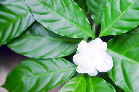 jessamine: Jasmine (Altri nomi sono Jasminum, Jasmine Melati, Jessamine, gelsomino Oleaceae) fiori con foglia nei giardini Archivio Fotografico