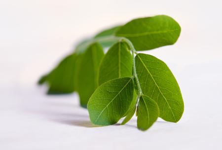 Moringa (Also known as Moringa oleifera Lam., MORINGACEAE, Futaba kom hammer, vegetable hum hum bug, Moringa bug Hoo) leaf isolated on wood background Stock Photo