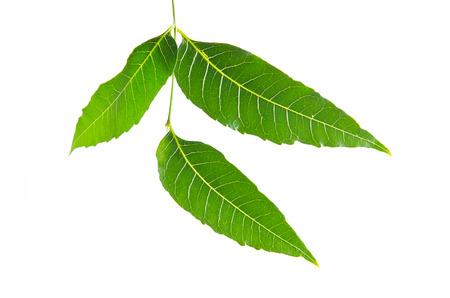 Margosa (also named as nim, neem tree, Melia, Azadirachta indica, mahogany, Meliaceae Margosa, Sadao, or Melia azedarach) green leaf isolated on white background