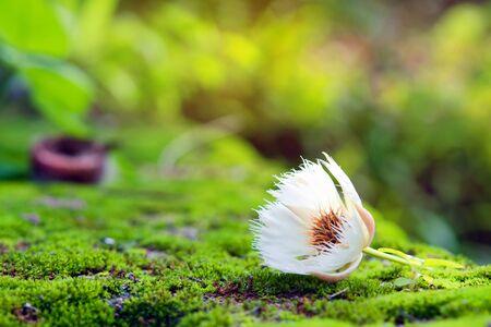 eudicots: Elaeocarpus hainanensis or Elaeocarpus grandifloras flower on moss background (Also called as Elaeocarpaceae, Oxalidales, Rosids Hainanensis, Eudicots Grandifloras, Elaeocarpus nanus in Malaysia)