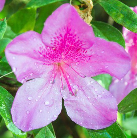Hibiscus flower (also named as paper flower, shoe flower, Chaba in Thai, rose mallow,  or hibisceae)